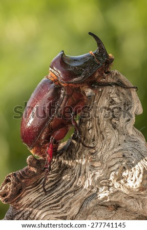 European rhinoceros beetle perched on a log - stock photo