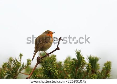 European robin - stock photo