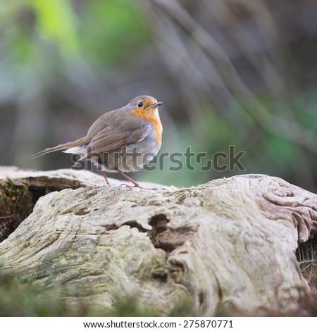 European Robin bird in forest - stock photo