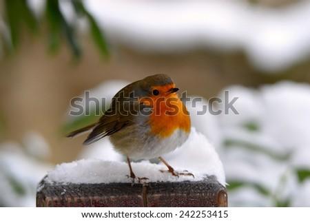european robin bird in winter - stock photo
