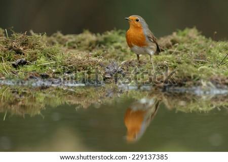 European Robin bird with a reflection - stock photo