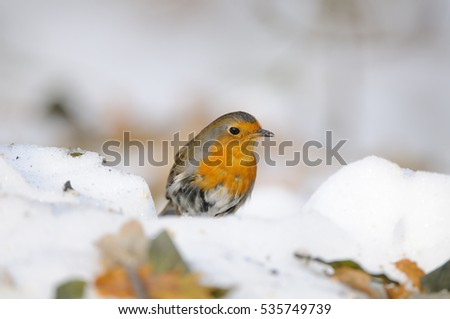 European Robin (Erithacus rubecula) among dry leaves in the snow. Moscow, Russia