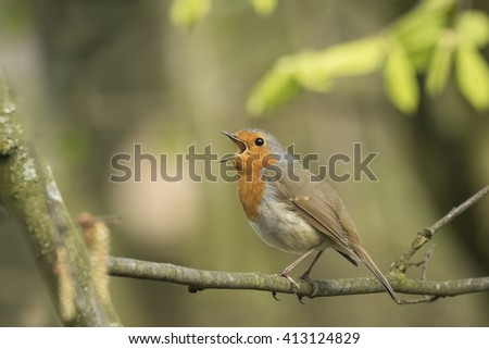 European robin (Erithacus rubecula) bird singing in a forest on mating season during Springtime. - stock photo