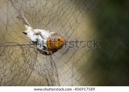 European robin (Erithacus rubecula) caught in a mist-net for scientific bird ringing - stock photo