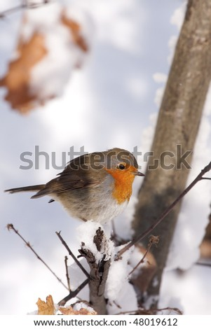 European Robin (Erithacus rubecula) in winter. - stock photo