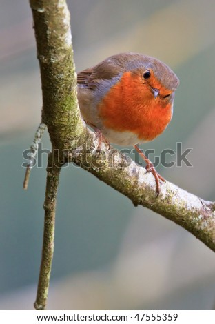 European robin, Erithacus rubecula on a branch. Shallow depth of field and bakground blurred - stock photo