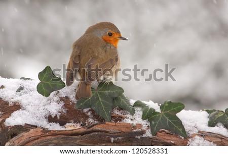 European Robin (Erithacus rubecula) on branch in snow. - stock photo