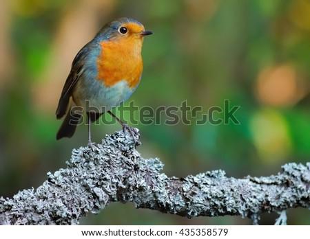 European robin (Erithacus rubecula) on the branch - stock photo