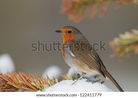 European Robin (Erithacus rubecula) perched on a mound of snow