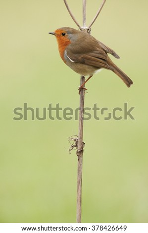 European Robin (Erithacus rubecula) perched on a weed