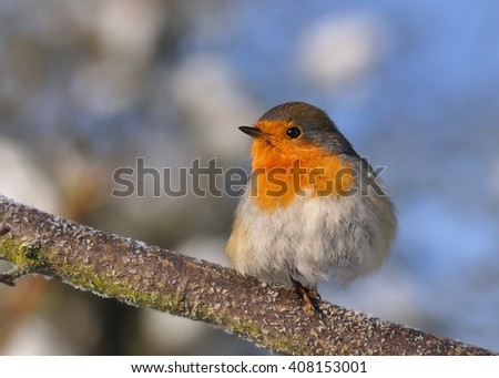 European Robin - Erithacus rubecula sitting on the branch, perching, blue sky in the background, in winter - stock photo