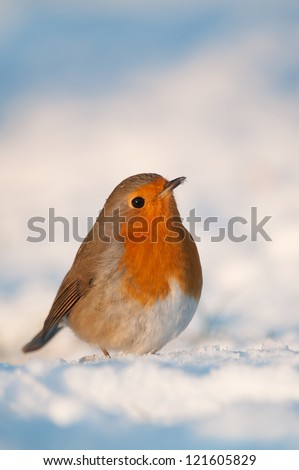 European Robin in the snow - stock photo