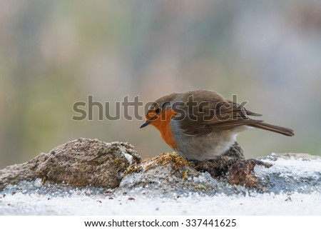 European robin looking for food in winter - stock photo