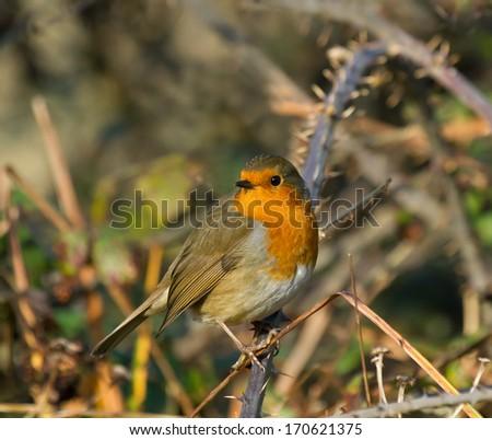 European Robin on Bramble in Winter - stock photo