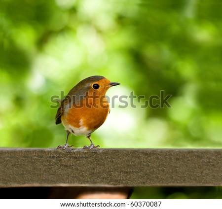 European Robin on table - stock photo