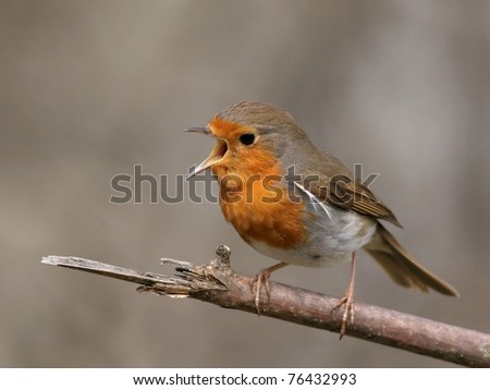 European Robin perched on a branch, singing, close-up - stock photo
