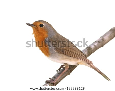 European robin perched on a twig, isolated on white