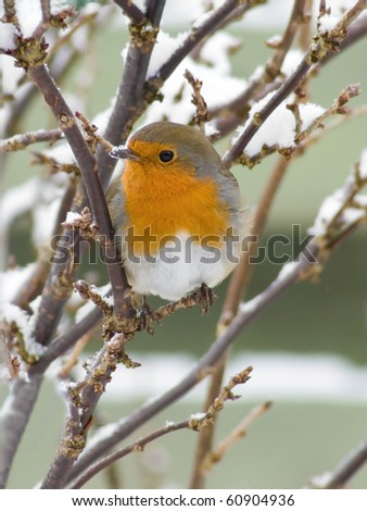 European Robin with snow on the beak - stock photo