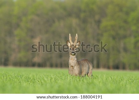 European roe buck - stock photo