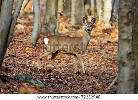 European roe deer female in beech forest - stock photo