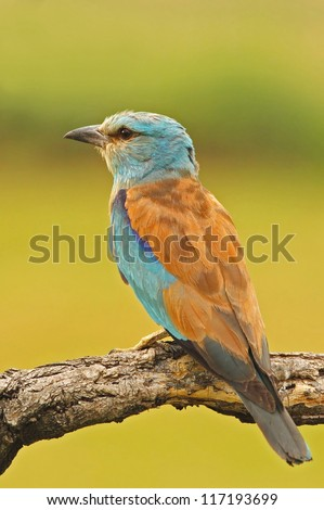 European roller on a  branch - stock photo