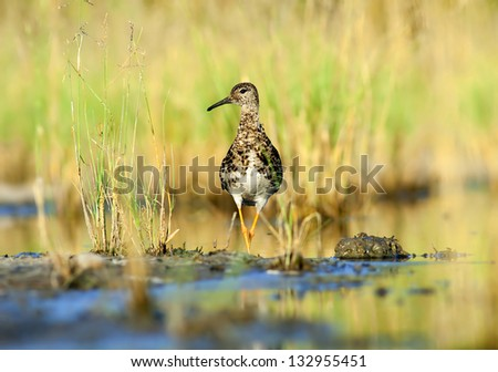 European Ruff - Philomachus pugnax - stock photo