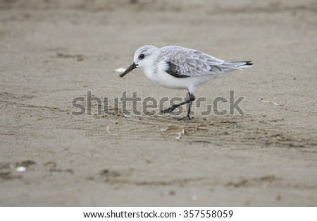 European Sanderling (Calidris alba) - stock photo