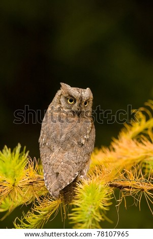 European Scops Owl (Otus scops) sitting on larch branch