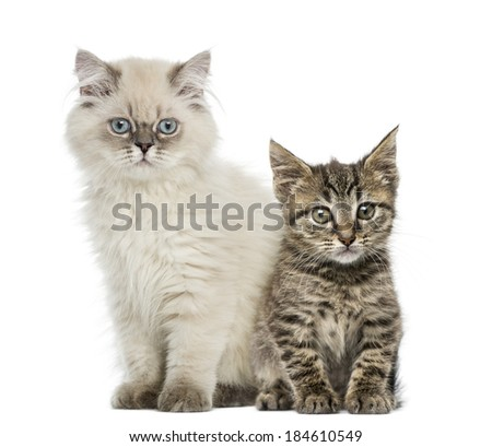 European shorthair and british shorthair kitten sitting and looking at the camera