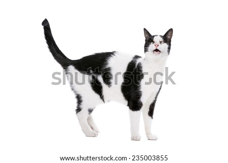 european-shorthair cat with one eye in front of a white background - stock photo