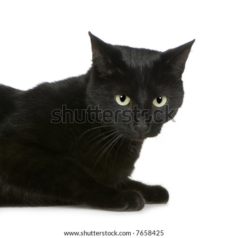 European Shorthair () in front of a white background - stock photo