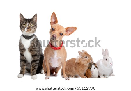 European shorthaired cat, chihuahua dog, rabbits and a Guinea Pig isolated on a white background - stock photo