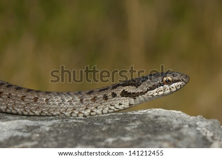 European smooth snake (Coronella austriaca) in a threatening