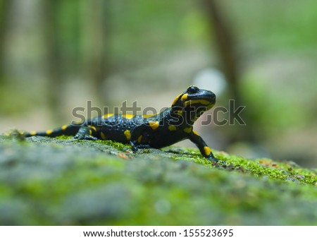 European spotted salamander - stock photo