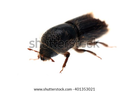 European spruce bark beetle Ips typographus isolated on white - stock photo
