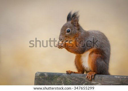 European squirrel (red) sitting on a park bench