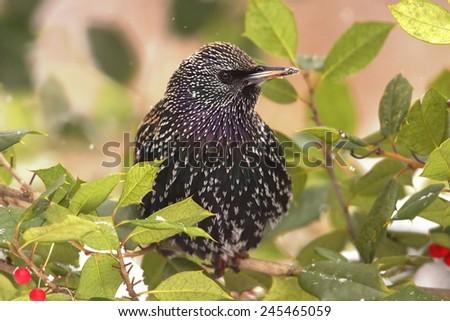 European Starling (Sturnus vulgaris) in a holly bush with light snow falling - stock photo