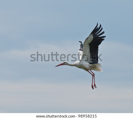 European stork Ciconia in flight, isolated on sky - stock photo