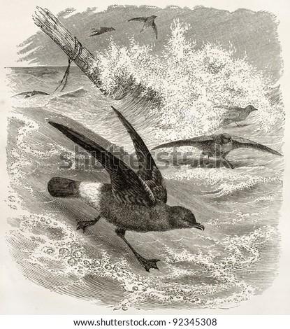 European Storm Petrel old illustration (Hydrobates pelagicus). Created by Kretschmer and Illner, published on Merveilles de la Nature, Bailliere et fils, Paris, ca. 1878 - stock photo