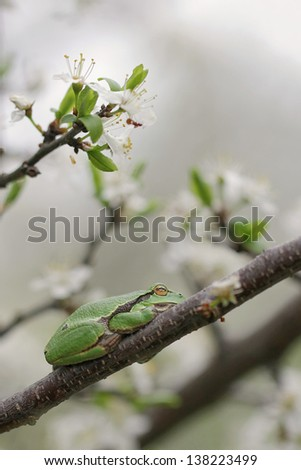 European tree frog, Hyla arborea - stock photo