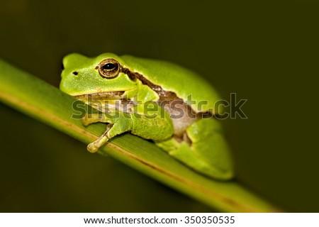 European tree frog Hyla arborea - stock photo