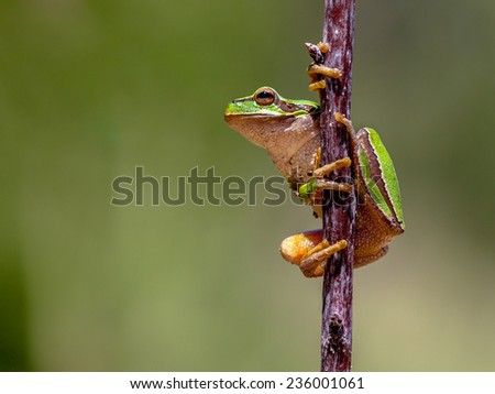 European tree frog (Hyla arborea) climbing in a stick and preparing to jump - stock photo