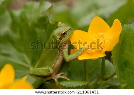 European tree frog (Hyla arborea formerly Rana arborea) sitting on a plant - stock photo