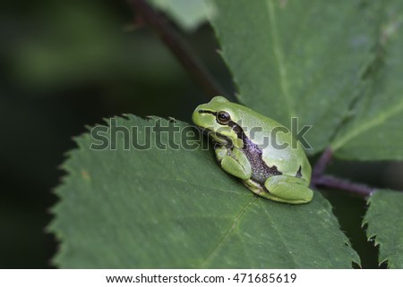 European tree frog (Hyla arborea) in Zelhem, the Netherlands.