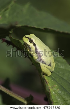 European tree frog (Hyla arborea) on a blackberry bush in Zelhem, the Netherlands.