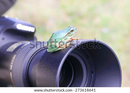 European tree frog (Hyla arborea) on camera. - stock photo