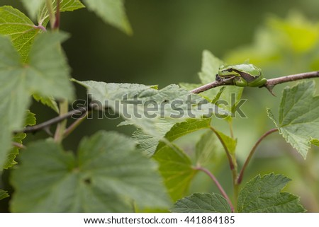 European Tree Frog (Hyla arborea) resting on a branch of a Rose - stock photo