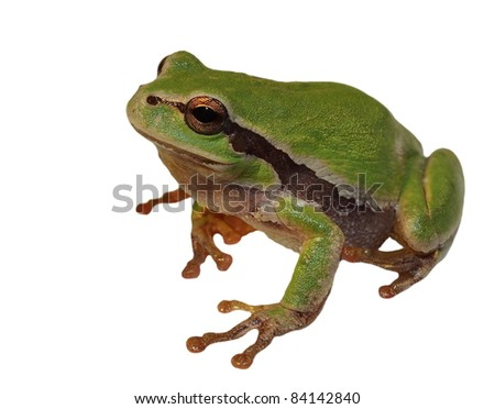 European tree frog isolated on white background, Hyla arborea - stock photo