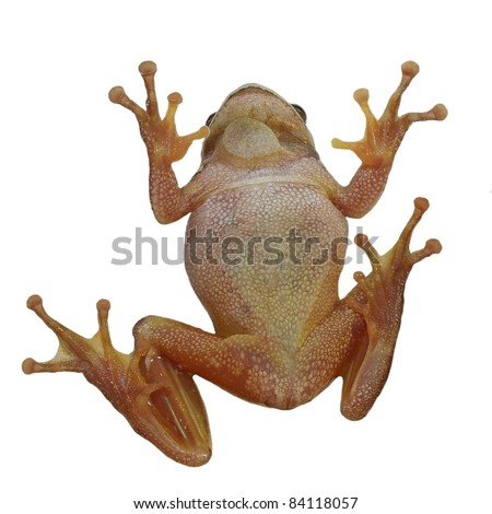 European tree frog on window isolated on white background, Hyla arborea - stock photo