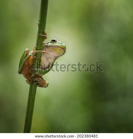 European treefrog looking around - stock photo